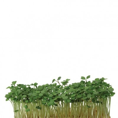 Ruccola Cress, la barq