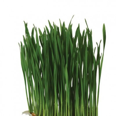 Wheat Grass, Pays-Bas, la barquette